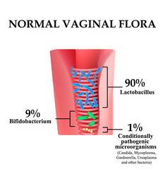 Normal microflora vagina bifidobacteria vector