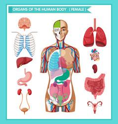 Scientific medical human antomy vector