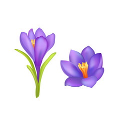 Crocus springtime flowers blooming purple buds vector