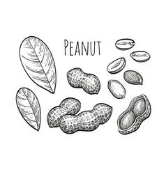 Peanut sketch set vector