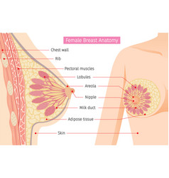 cross section of female breast anatomy vector image