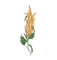 Decorative natural drawing quinoa or amaranth vector
