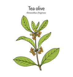 Sweet osmanthus or tea olive osmanthus fragrans vector