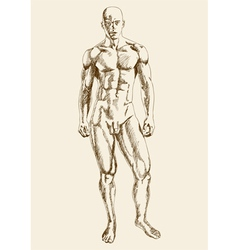 Muscular Man Body vector