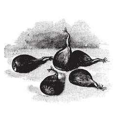 Chestnuts vintage vector