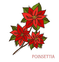 Hand drawn poinsettia vector
