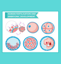 Scientific medical embryonic development vector