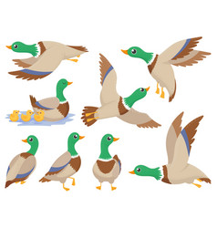 wild ducks mallard duck cute flying goose and vector image