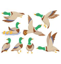 Wild ducks mallard duck cute flying goose vector