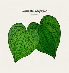 wildbetal leafbush tropical leavesdrawing vector image