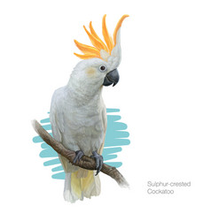 Sulphur-crested cockatoo detailed vector