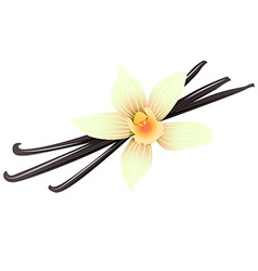 Vanilla pods and flower vector