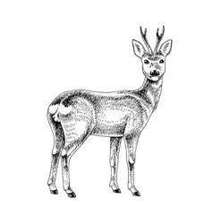 hand drawn roe vector image