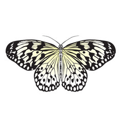 Butterfly idea leuconoe sketch of butterfly vector