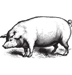 Swine vector image vector image