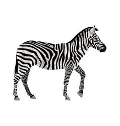 zebra isolated on white vector image