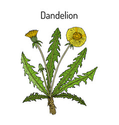 common dandelion taraxacum officinale medicinal vector image