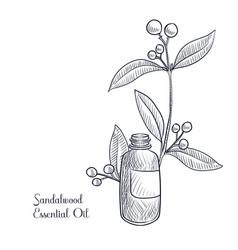 Drawing sandalwwood essential oil vector