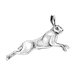 hand drawn hare vector image
