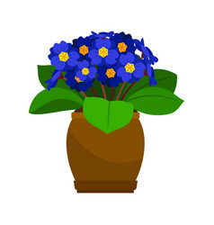 Primrose house plant in flower pot vector