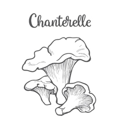 Set of chanterelle edible mushrooms vector