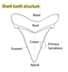 Archaeology ichthyology structure tooth shark vector