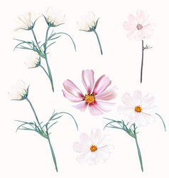 set light pink and white cosmos flowers vector image