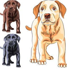 Cute puppy dog breed Labrador Retriever vector image