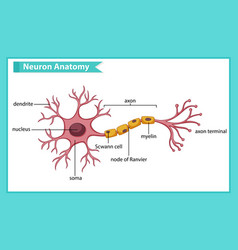 Scientific medical anatomy nerve cell vector