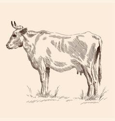 Cow in pasture vector