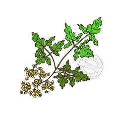 Hand drawn parsley vector