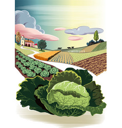 Agricultural landscape with cabbage vector