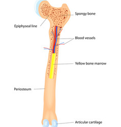Bone Anatomy scheme vector image vector image
