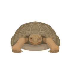 large turtle tortoise reptile animal front view vector image