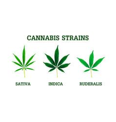 cannabis strains sativa indica and ruderalis vector image