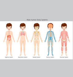 Male human anatomy body systems vector