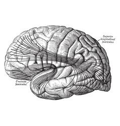 Cerebral cortex vintage vector