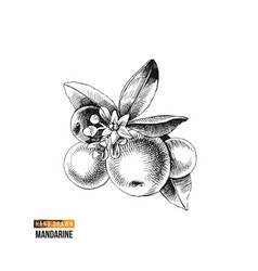 hand drawn mandarin branch vector image