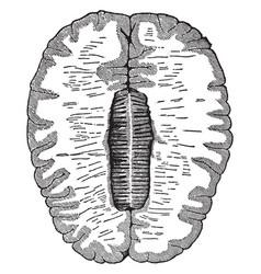 Cross-section brain vintage vector