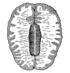 Cross-section of the brain vintage vector