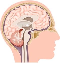 Cartoon of Human Internal Brain Anatomy vector image vector image