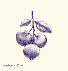 blueberry hand drawing vintage style vector image