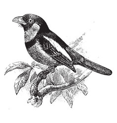 Black and red broadbill vintage vector
