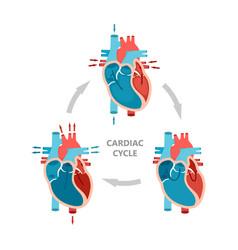 Phases cardiac cycle - diastole atrial vector