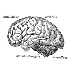 Side view brain vintage vector