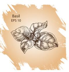 background sketch basil vector image