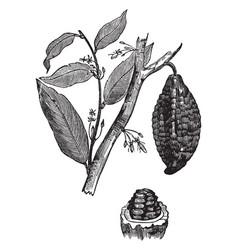 Cacao tree vintage vector