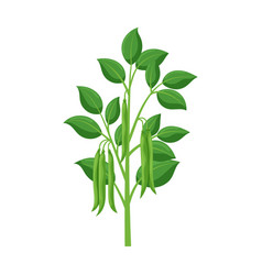Plant bean iconcartoon icon vector