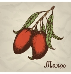 Branch with mango hand drawn vintage style vector image vector image