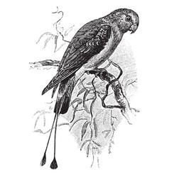 Rachet tailed parakeet vintage vector